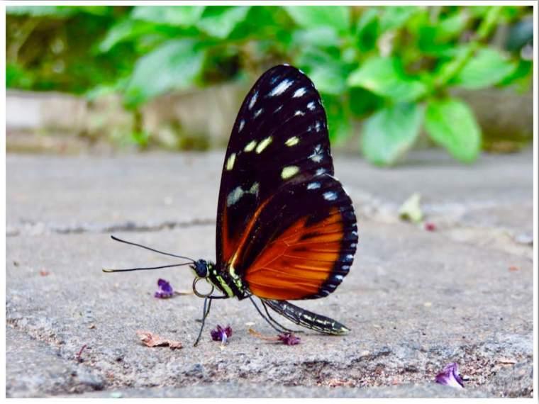 Ames Iowa Reiman Gardens Butterfly Wing
