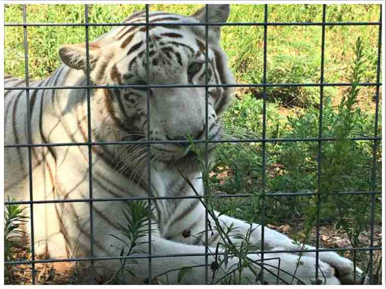 National Tiger Sanctuary Branson Missouri - Photo credit: Katy, Flint and Co