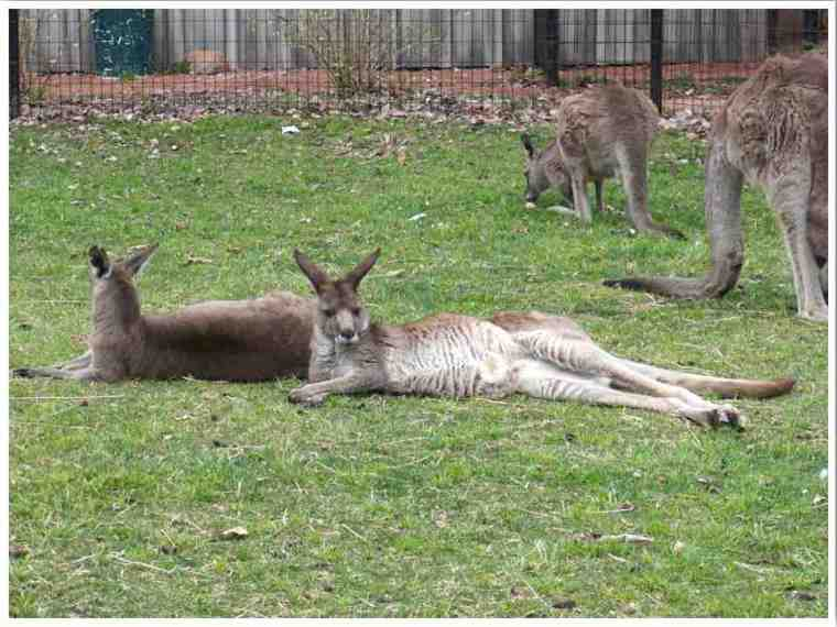 Kangaroos in Fort Wayne Indiana by Vicky of Buddy the Traveling Monkey