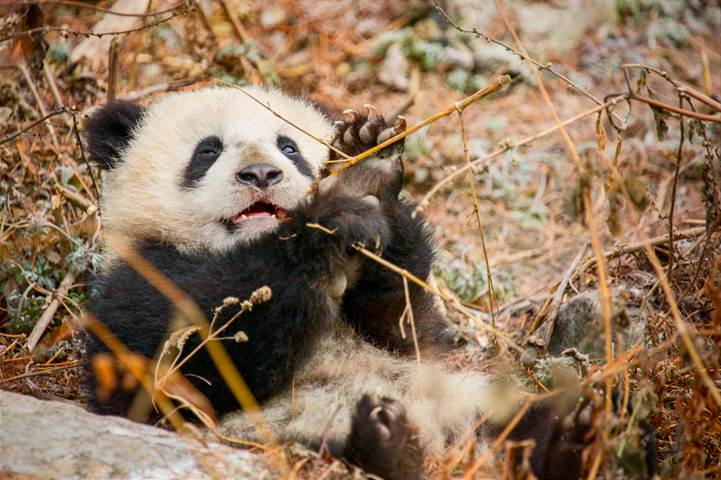DisneyNature Made in China baby panda