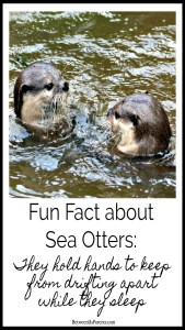 Fun fact about Sea Otters