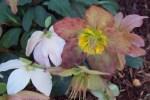 Helloborus in bloom