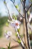 Peach Tree behind Naphtali