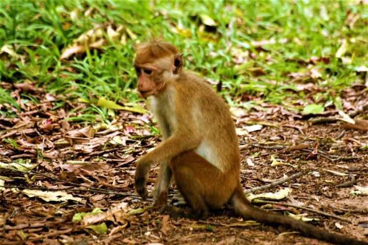 Spotting a monkey at Yala National Park has to be one of the Best Places to visit in Sri Lanka