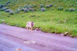 "A slide from the ""Suburban Howls"" coyote presentation at the Library"