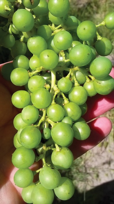 A cluster of Argentine Semillon grapes