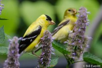 American Goldfinch on Agastache