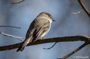 Eastern Phoebe - Sayornis phoebe Peachtree Park, Atlanta GA - January 30, 2016
