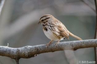Song Sparrow - Melospiza melodia Peachtree Park, Atlanta, GA - January, 2016