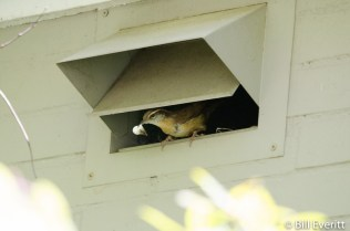 Carolina Wren in oven vent