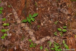 Copperhead - venomous