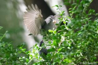 Gray Catbird feeding the stranded juvenile