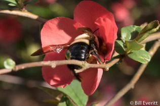 Native Bee on Quince