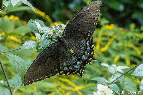 Eastern Tiger Swallowtail - female dark morph