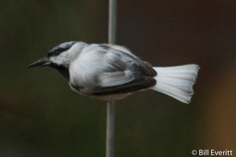 Carolina Chickadee with signs of leucism [2]