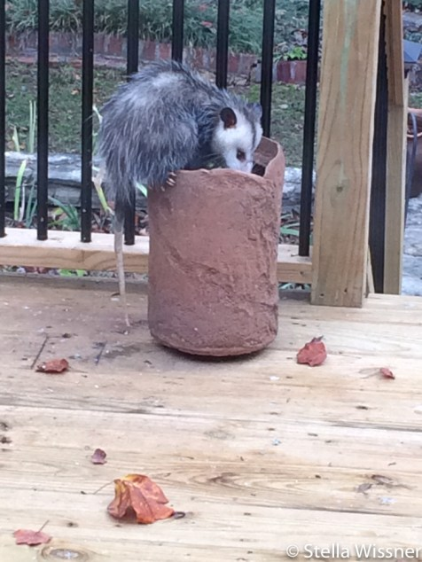 Possum looking for bird seed