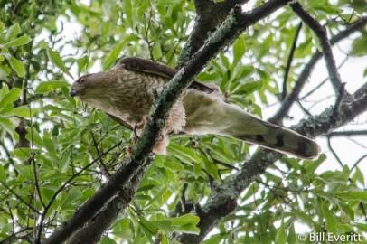 Cooper's Hawk in Darlington Rd. White Oak