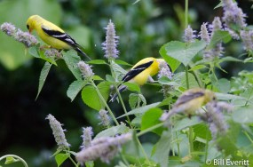 American Goldfinches on Ansie Hyssop