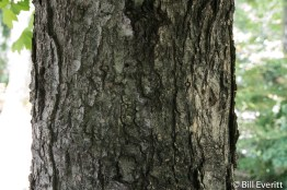 Southern Sugar Maple