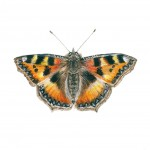 Tortoiseshell butterfly painting