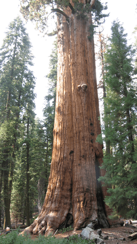 Season of Sharing   Redwood tree