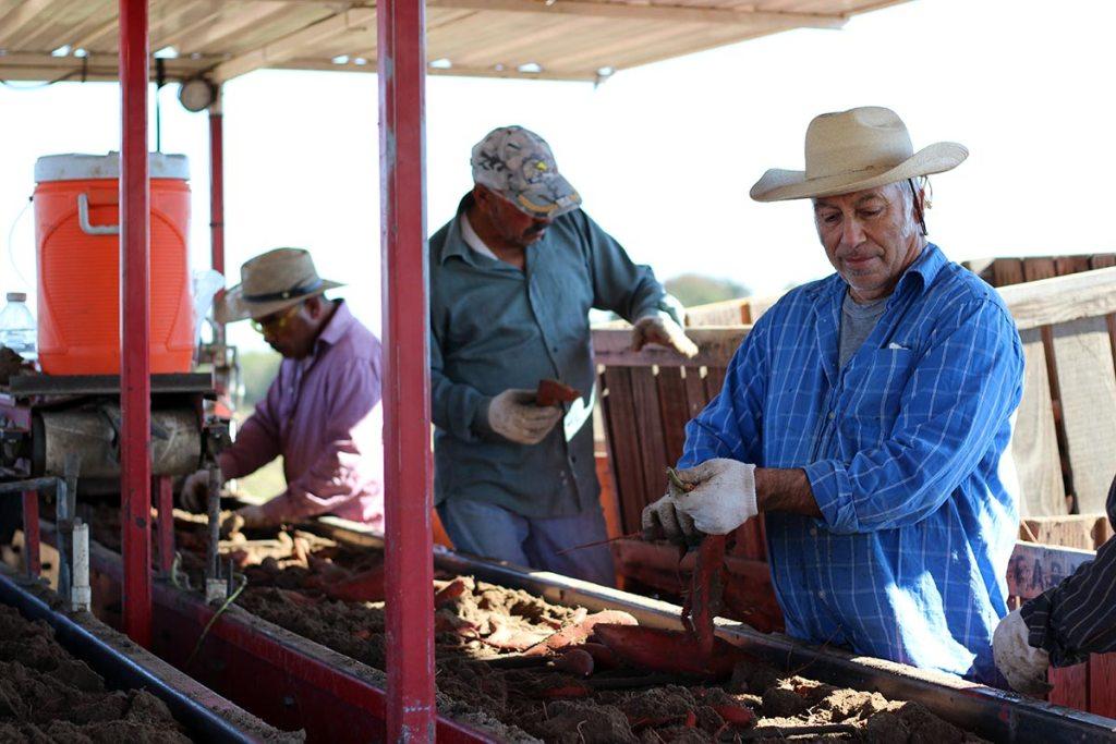 sweet potato spirits harvest