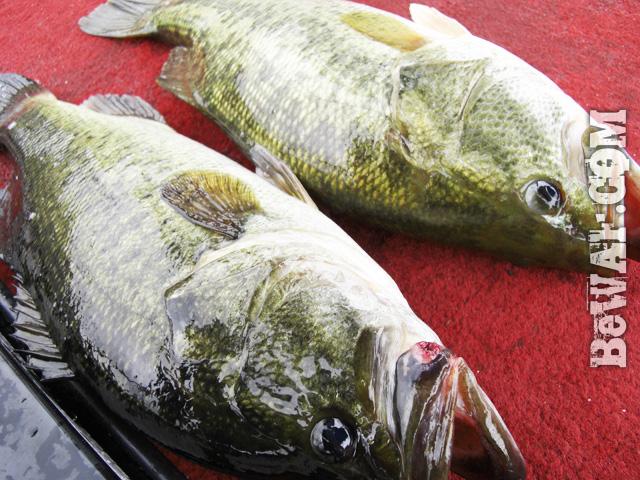 biwako bass fishing guide chouka 81