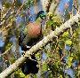 pc-touraco-birdpics
