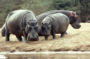 Hippopotami (Hippopotamus amphibius) on river bank
