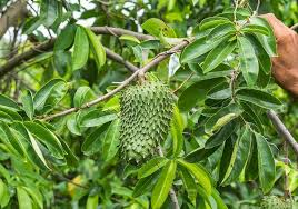 SOURSOP LEAVES cure cancer