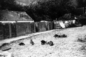 Brickyard Farm, Sidley, cats c1920