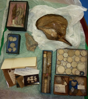 MUS-014 - Rev Thompsons Barton Beds fossils, Bexhill Museum