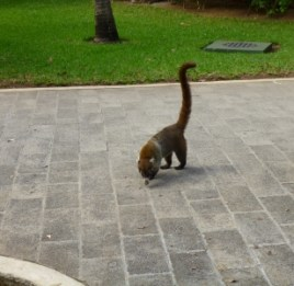 Is it a raccoon? No, it's a Coati!