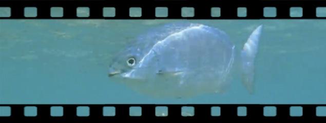 Unterwasserwelt in der Hanauma Bay (Oahu, Hawaii)
