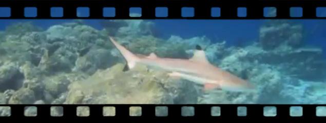 Die Schwarzspitzenriffhaie von Embudu