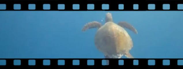 Karettschildkröten