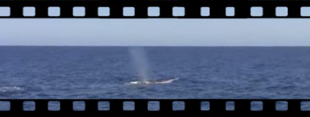 Finnwal vor der Ligurischen Küste
