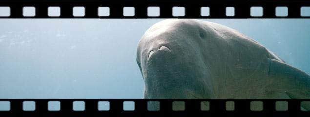 Verspieltes Dugong – die verrückte Seekuh von Marsa Alam