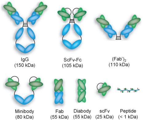 Intact_antibodies_and_a_variety_of_antibody_fragments
