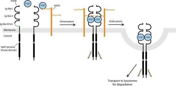 FGFRs dimerization