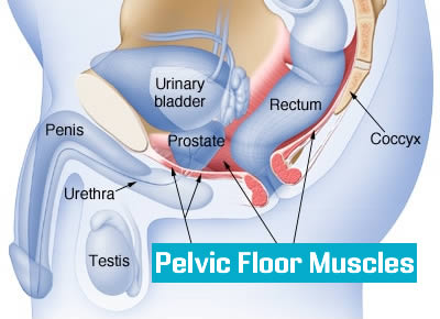 pelvic Floor or Pubococcygeal (PC Muscle)