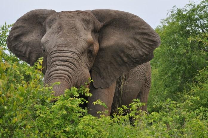 bull elephant kirkman kamp sabi sands