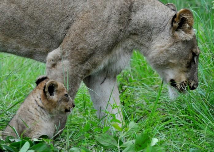 safari lioness cub