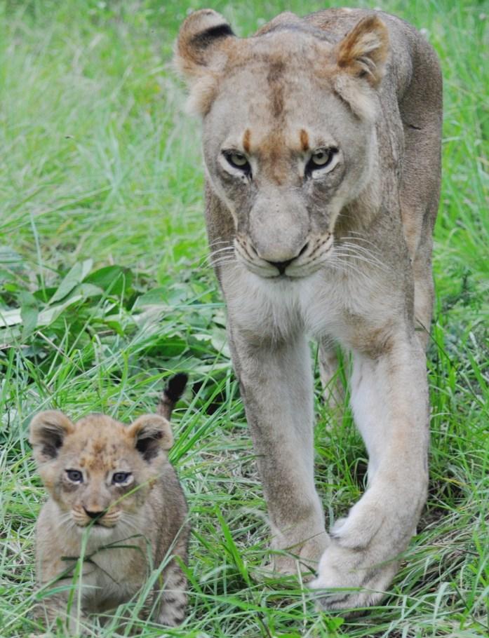 close encounter lioness bub