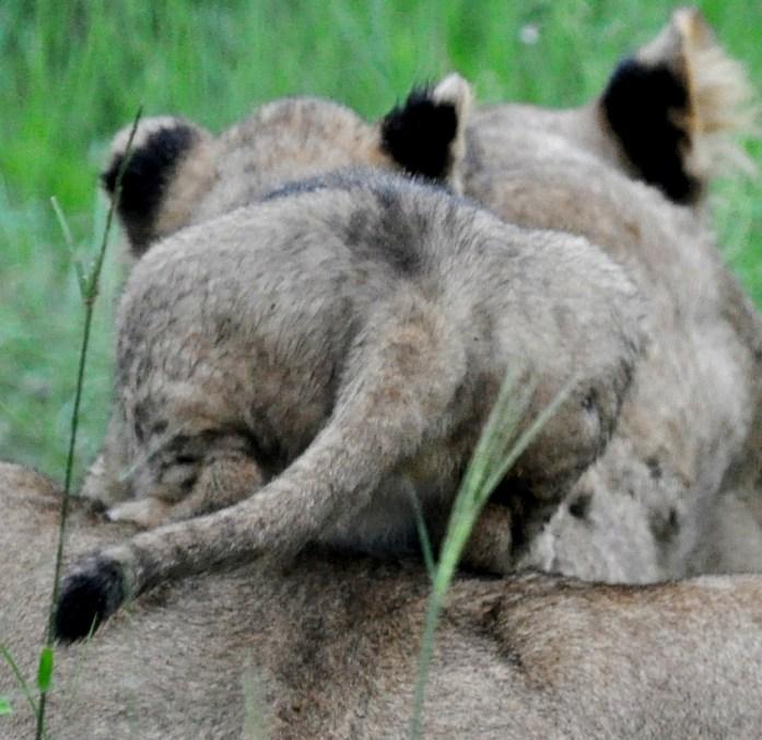 lion cub moms back