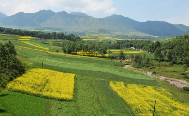 Rapeseed flowers in Tibet