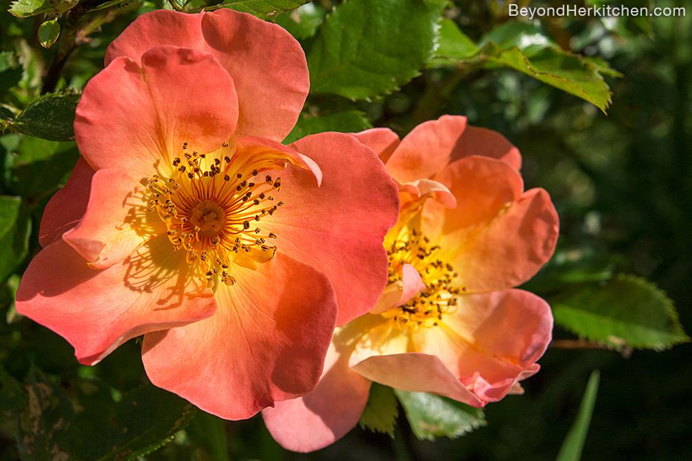 Rose_Orange_6628-sml