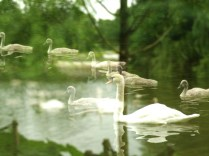 sailing swans5