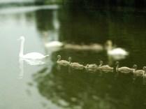 sailing swans6