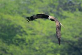 A Black Kite on the prowl